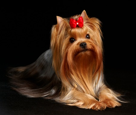 The Yorkshire Terrier isolated on black background photo
