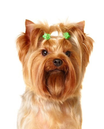 Portrait of the Yorkshire Terrier with hairpins