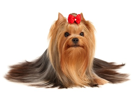 show dog: The Yorkshire Terrier of show class isolated on white background