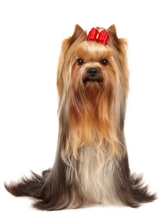 show dog: Beautiful Yorkshire Terrier isolated on white background