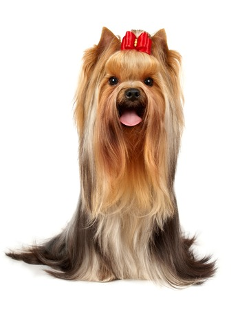 The Yorkshire Terrier of show class isolated on white background