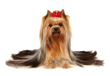 Male of the Yorkshire Terrier over white photo