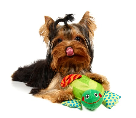 Licking yorkshire with a smiling frog toy photo