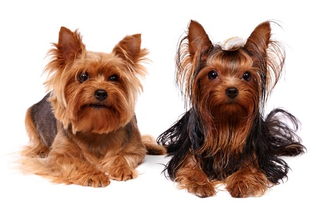show dog: Two Yorkshire Terriers