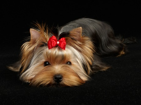 Yorkshire Terrier: Young Yorkshire Terrier on the black background Stock Photo