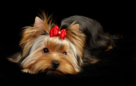 Yorkshire Terrier: Yorkshire Terrier isolated on black Stock Photo