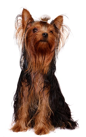 Young Yorkie with oily hair photo