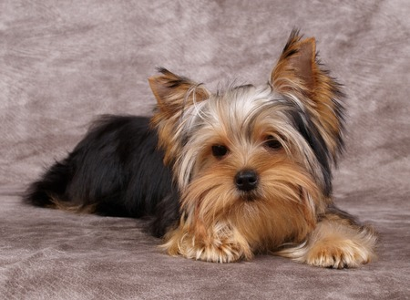black bitch: Puppy of the Yorkshire Terrier Stock Photo