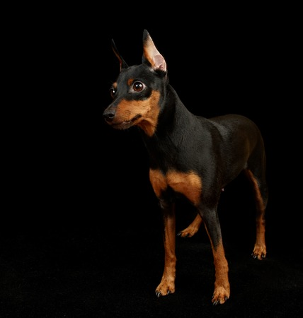 Black Miniature Pinscher isolated on black
