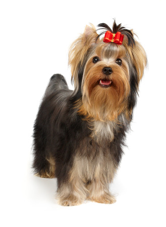 show dog: Puppy of the Yorkshire Terrier isolated on white Stock Photo