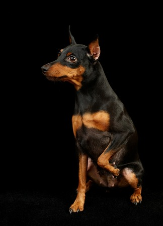 vigorous: Black Miniature Pinscher with one forepaw up. Isolated on black.