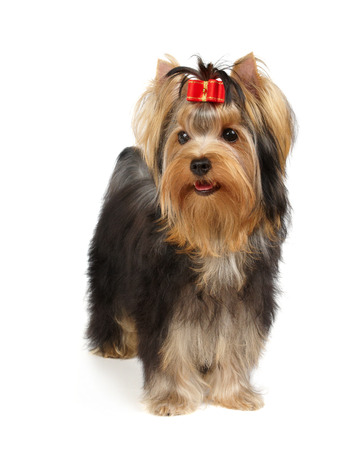 Yorkshire Terrier: Yorkshire Terrier stands on white background Stock Photo