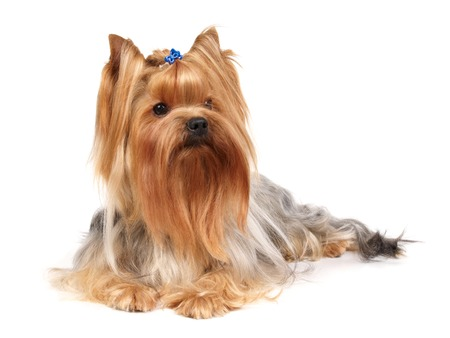 lap dog: Yorkshire Terrier isolated on white Stock Photo