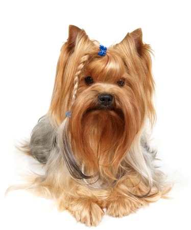 male grooming: Yorkshire Terrier with braid Stock Photo