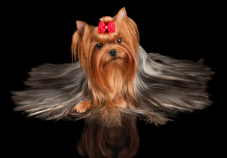 Beautiful Yorkshire Terrier on black reflecting background