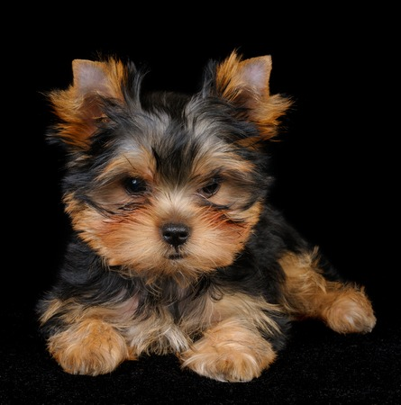 Puppy of the Yorkshire Terrier on the black background