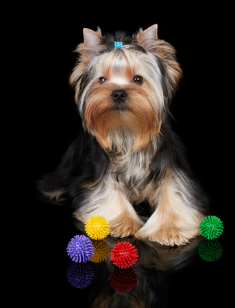 Puppy of the Yorkshire Terrier on the black background with toys photo