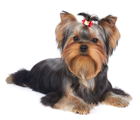 Puppy of the Yorkshire Terrier isolated on the white background photo