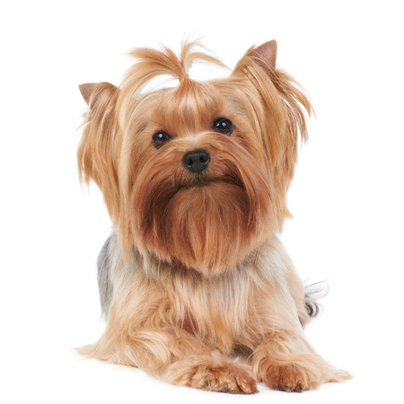 yorkie: Yorkshire Terrier isolated on the white background Stock Photo