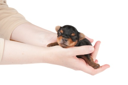 Woman takes two week old puppy of the Yorkshire Terrier photo