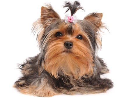 Yorkshire Terrier with small bow isolated on white photo