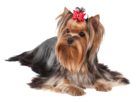 Yorkshire Terrier isolated on the white background Stock Photo