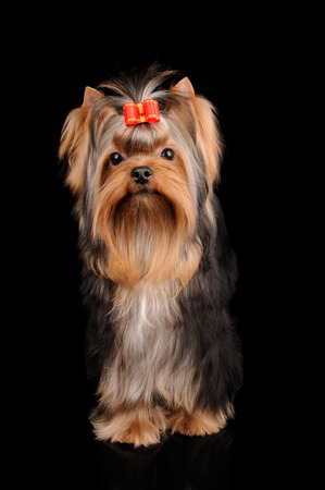 Yorkshire Terrier: Yorkshire Terrier with long hair on black reflecting background Stock Photo