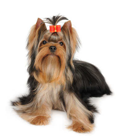 Wonderful Yorkshire Terrier isolated over white background photo