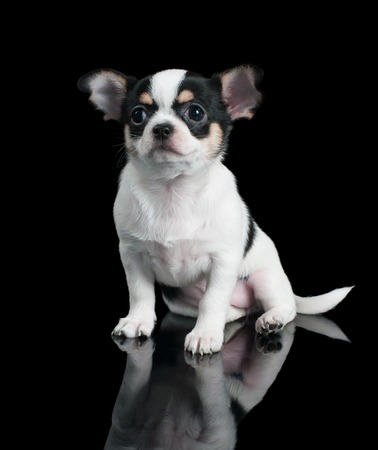 Puppy of Chihuahua sits on black background photo