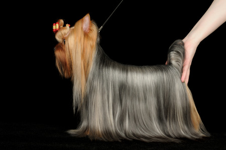 participant: Dog show participant demonstrates her Yorkshire Terrier on black background