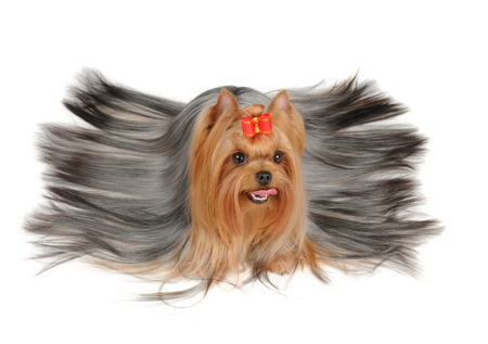 Yorkshire Terrier with long hair isolated on the white background photo