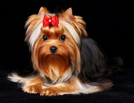 show dog: Beautiful Yorkshire Terrier on the black background Stock Photo