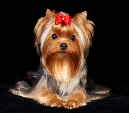 Beautiful Yorkshire Terrier on the black background Stok Fotoğraf
