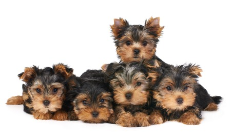 Five puppies of the Yorkshire Terrier isolated on white photo