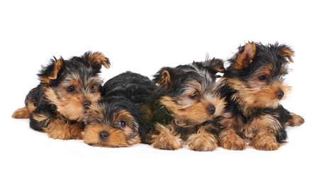Yorkshire Terrier: Four puppies of the Yorkshire Terrier isolated on white