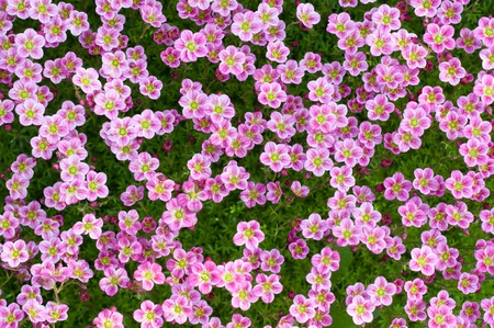 Flower background. Many small pink flowers grow on soil. photo