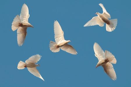 5 개의 흰색 비둘기는 맑은 하늘에 날아간다. 스톡 콘텐츠