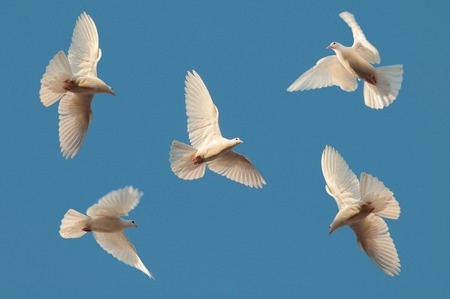 Five white pigeons fly in the clear sky Stok Fotoğraf
