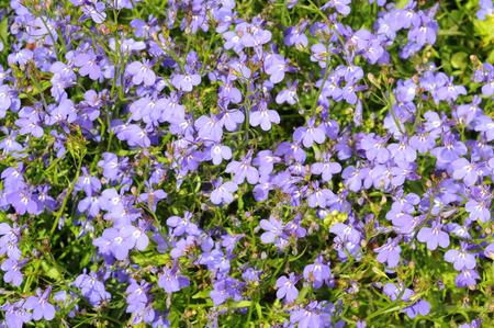 lobelia: Many blue flowers as a background  lobelia