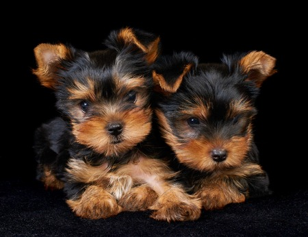 Yorkshire Terrier: Two puppies of the Yorkshire Terrier on the black background