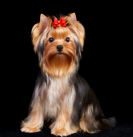 yorkie: Yorkshire Terrier isolated on the black background