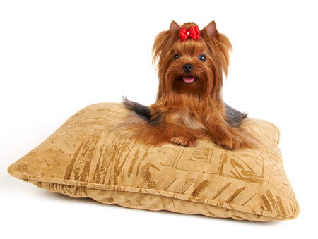 Yorkshire Terrier lying on the pillow isolated on white photo