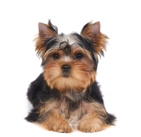 Puppy of the Yorkshire Terrier isolated on the white background Standard-Bild