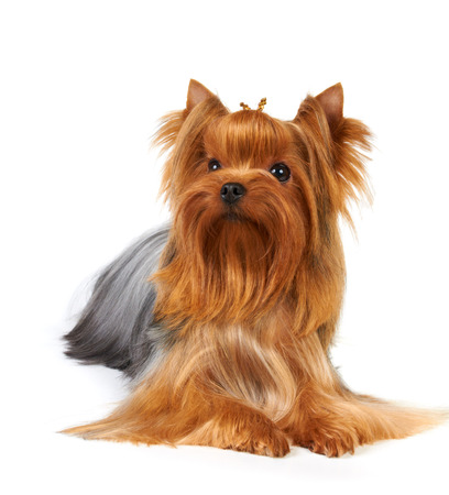 Yorkshire Terrier isolated on the white background photo
