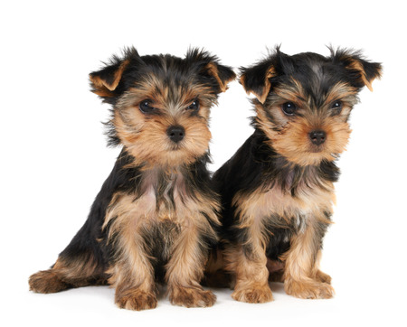 Yorkshire Terrier: Two puppies of the Yorkshire terrier isolated on white