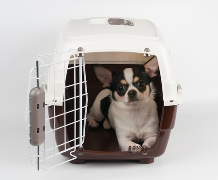 One Chihuahua in the open pet carrier