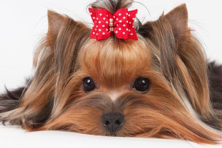 beaux yeux: Portrait du Yorkshire Terrier avec de beaux yeux Banque d'images