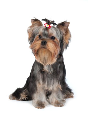 Puppy of the Yorkshire Terrier with hairpin on white