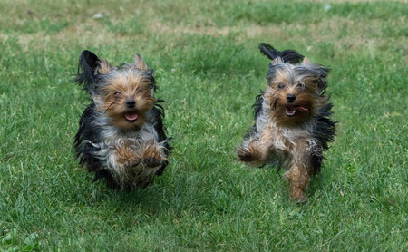 Two Yorkshire Terriers run on the lawn