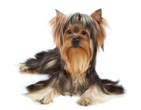 Yorkshire Terrier with funny bang of hair over white photo